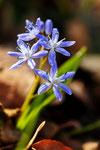 Scilla bifolia ( Zweiblättriger Blaustern)