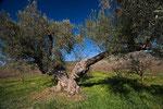 4000 Jahre alter Olivenbaum