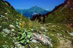 Langstieliger gelber Enzian auf dem Weg zwischen Geltenhütte und Lauenensee