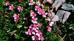 Ein rosa Nelkenpolster