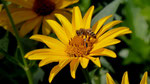 Blütenpollen einsammelnde Biene Zwergprimeln am Göstling-Hochkar in der Steiermark (DMC TZ71)