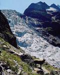 Schafe weiden in den südseitigen, grasigen Hängen bei Rots Gufer.