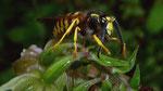 Wespe auf einer Stendelwurz (Orchidee) im Fürther Stadtwald