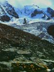 Gemswurz im Schutz von Felsblöcken. Gletgscherwinkel zwischen Pitz Bernina und Scerscen