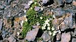 Das weiße Alpenleimkraut, ein Nelkengewächs mit dichten, fleischigen Blättern Blättern