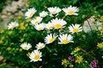 Alpenmaßliebchen. Das Gebiet des Piz Minschun ist für seinen Blumenreichtum bekannt.