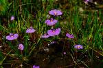 Utricularia petertaylorii (© Martin Hingst)