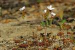 Drosera spilos  (© Martin Hingst)