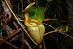 Nepenthes villosa (© Anja & Holger Hennern)