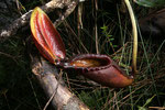 Nepenthes rajah (© Anja & Holger Hennern)