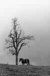 Pferd neben Baum Ränggersmatt
