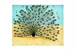 Le paon en beauté (Acrylique sur toile - 19 x 24 )
