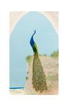 Paon (Acrylique sur plaque de bois  n2 - côté recto - 40 X 26 )