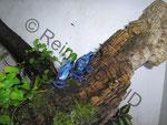 Dendrobates (tinctorius) azureus Paar