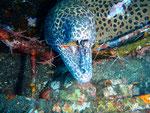 Leopardenmuräne verletzt bei Putzerstation