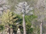 Rechts im Stumpf - ein Kakadu