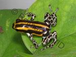 Ranitomeya (früher Dendrobates) lamasi panguana