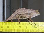 Rampheleon brevicaudatus (hier ein ausgewachsenes Tier) läßt sich gut mit Pfeilgiftfröschen vergesellschaften (halte ich derzeit nicht mehr)