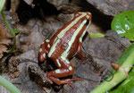 Epibedobates tricolor (halte ich derzeit nicht mehr) Danke an Lars Gille der damals meinen Frosch fotografiert hat