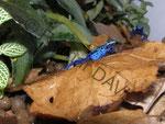 Dendrobates (tinctorius) azureus beim fressen
