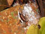 Colostethus cf. trilincatus im Biotop