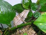 Rampheleon brevicaudatus im Pfeilgiftfroschterrarium (halte ich derzeit nicht mehr)