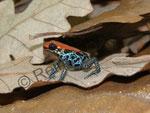 Ranitomeya (früher Dendrobates) reticulata im Terrarium (halte ich derzeit nicht mehr)