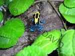 Dendrobates tinctorius nominat Männchen (halte ich derzeit nicht mehr)