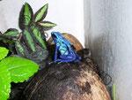 Dendrobates (tinctorius) azureus mit Kaulquappe am Rücken