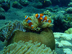 """""""Nemos"""" in Anemone"""