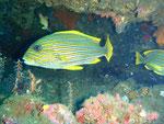 Süßlippenfisch