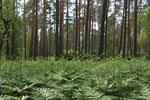 der Riesenfarn entrollt sich im Frühling unter den Kiefern im Darßwald