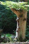 Darßwaldgeist