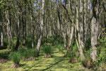im Darßurwald zwischen Born und Prerow