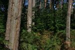 im Darßwald auf einer weiteren Entdeckungstour - bis 1990 wurde von den Kiefern Harz gezapft