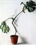 Topfpflanze, 110 x 95 cm