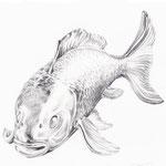 Fisch, Bleistift, 20 x 20 cm