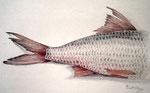 Fisch, Stift, Aquarell, 19 x 16 cm