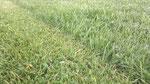 links im  Bild sieht man die Arbeit vom Raider rechts wurde einen Tag zuvor mit einem Rasenmähertraktor gemäht