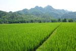 Reisfelder, soweit man blickt