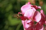 Platterbsen-Mörtelbiene (Megachile ericetorum) Foto: H. Gille
