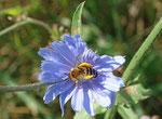 Dunkelfransige Hosenbiene (Dasypoda hirtipes) Foto:H.Gille