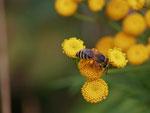 Buckel-Seidenbiene ( Colletes daviesanus) Foto: H. Gille