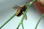 Gartenwollwiene ( Anthidium manicatum) Foto. H.Gille