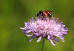 Knautien-Sandbiene ( Andrena hattorfiana) Foto: H. Gille