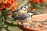 49 Kohl und Blaumeise an der Vogeltränke