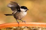 53 Sumpfmeise an der Vogeltränke