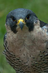 Wanderfalke (Falco peregrinus)                                       Foto: H.-P. Meßler