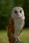 Schleiereule ( Tyto albe)                                                 Foto: H.-P. Meßler