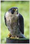 Wanderfalke (Falco peregrinus)                                          Foto: W. Kessler